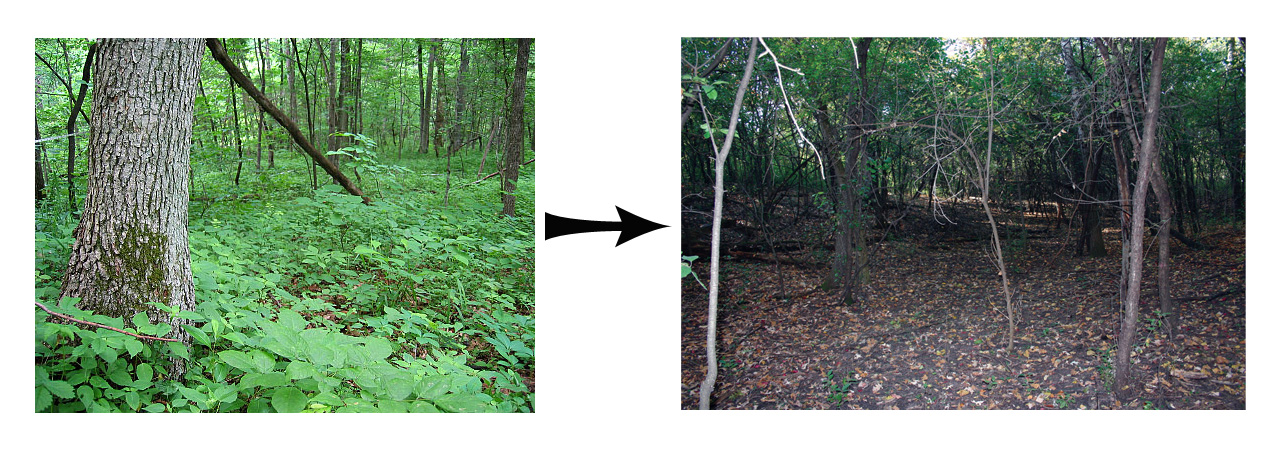 Healthy forest floor versus a buckthorn-invaded forest floor