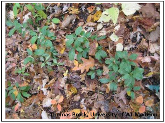 Buckthorn seedlings