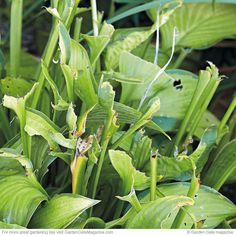 Deer Hosta Damage