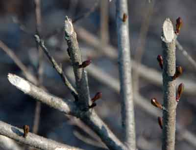 Rabbit Damage to Branch