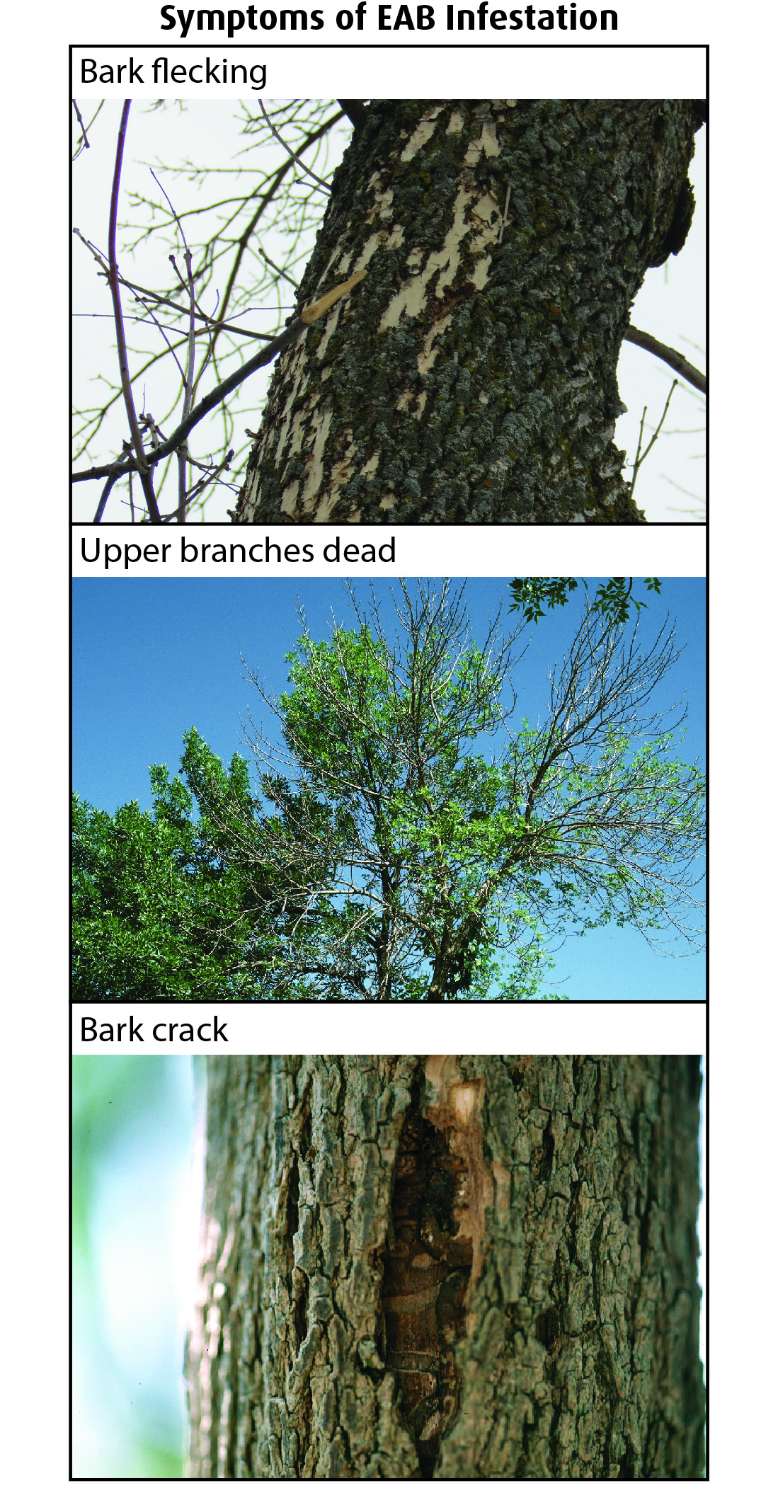 Symptoms of EAB.jpg