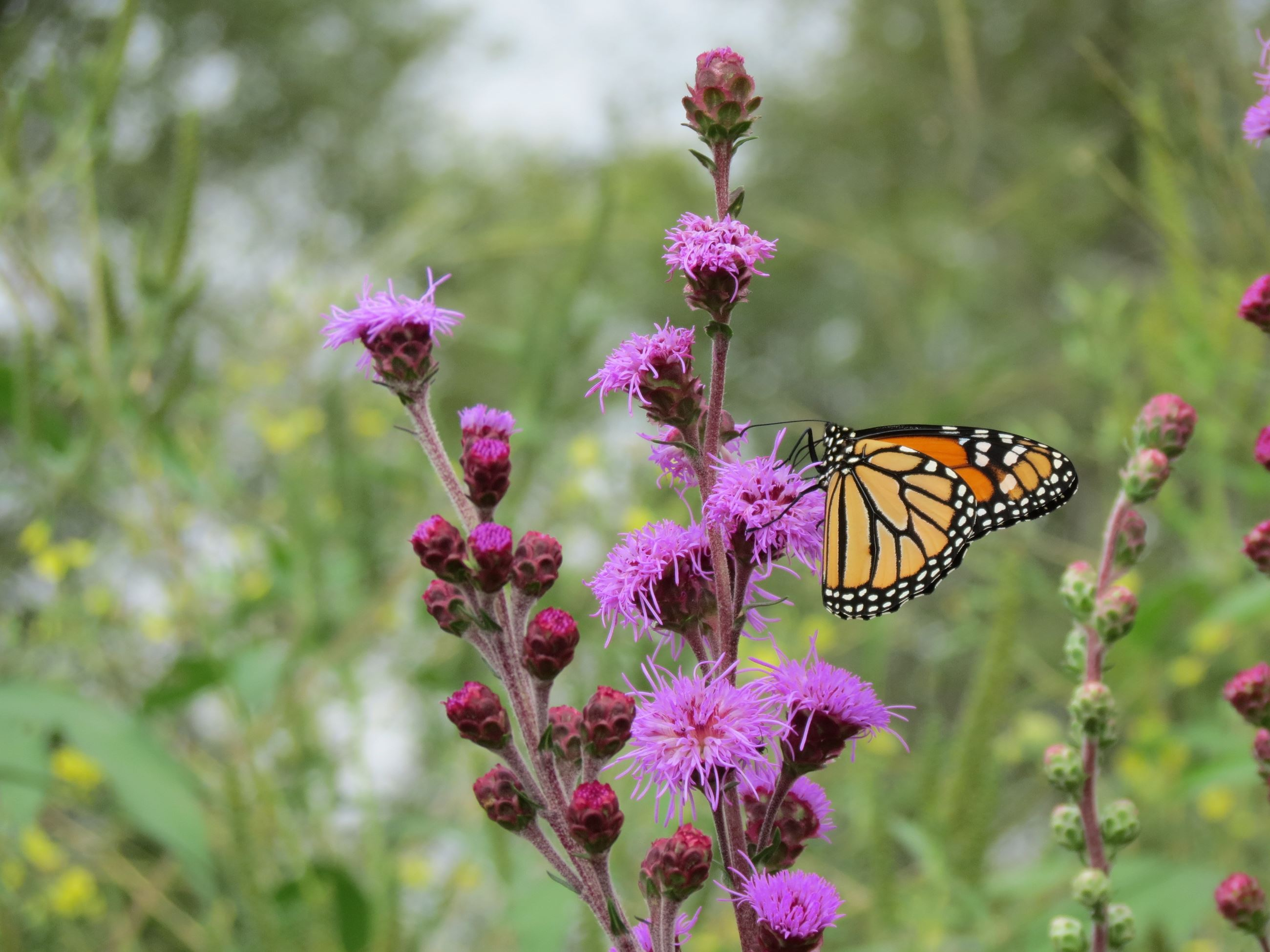 A monarch butterfly sits on a purple blazing star flower