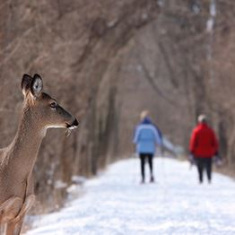 A deer stands in the forefront while two people walk in the background on a snowy trail