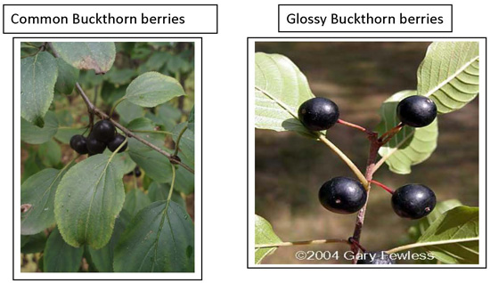 Common and glossy buckthorn berries