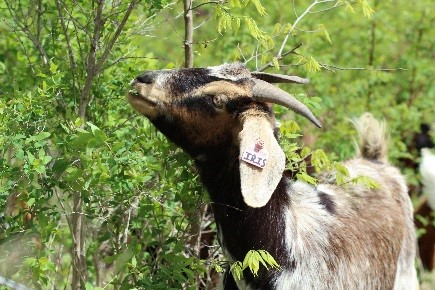 goat munching honeysuckle