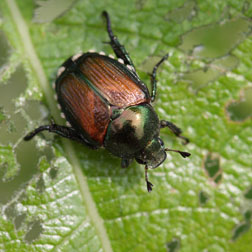 Japanese beetle_Steven Katovich_USDA Forest Service_lores.jpg