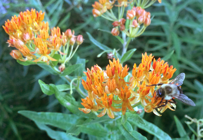 Bumble on butterfly milkweed_Forbes.jpg