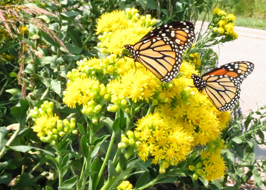 Monarch on solidago_Kraemer.jpg