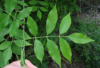 320px-Fraxinus_pennsylvanica_leaf_Bugwood,org_Univ Georgia.jpg